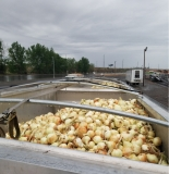 Photo submitted by Joshua Tiedgen (Commodity: onions)